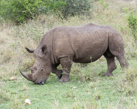 Closeup sideview of a White Rhino standing eating grass Stock Image