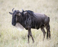 Closeup sideview of wildebeest standing in grass with head raised Stock Photo