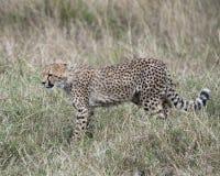 Closeup sideview of young cheetah walking through grass looking forward Royalty Free Stock Photos