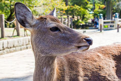 Closeup of a Sika deer Royalty Free Stock Images