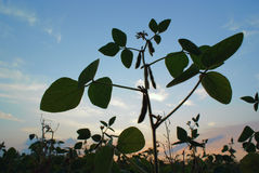 Closeup silhouette of plant pea against sky Royalty Free Stock Photo
