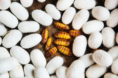 Closeup of Silkworm pupae royalty free stock photo