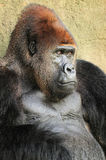 Closeup of a Silverback Gorilla Royalty Free Stock Photo