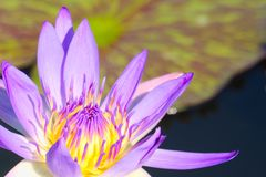 Closeup of a single beautiful purple lotus flower, with yellow center, in a lovely small pond in a Thai park. Single beautiful purple lotus flower, with yellow stock image