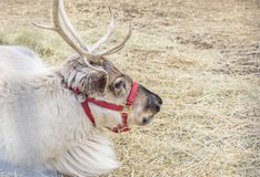 Closeup of a caribou reindeer laying down. Closeup of a single caribou reindeer with antlers laying down outside on bed of straw Royalty Free Stock Photography