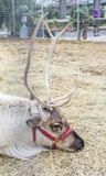 Closeup of a caribou reindeer laying down. Closeup of a single caribou reindeer with antlers laying down outside on bed of straw Royalty Free Stock Photo