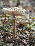 Closeup of single edible parasol mushroom or macrolepiota procera growing on forest ground, Berlin, Germany Royalty Free Stock Photography