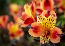 Alstroemeria - peruvian lily flower royalty free stock photography