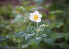 Closeup single flower of white Japanese Anemone A. hupehensis with green background Stock Images