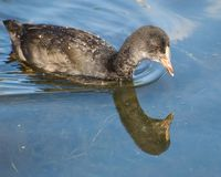 A closeup of a single juvenile Coot looking at a reflection stock photo