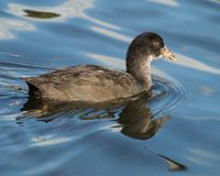 A closeup of a single juvenile Coot reflected in the lake. stock images