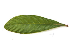 Closeup of single loquat leaf on a white Royalty Free Stock Photos