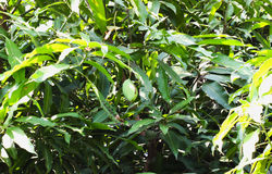 Closeup single mango on the Mango tree Royalty Free Stock Image