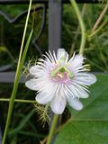 Passiflora flower Royalty Free Stock Photo