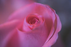 Closeup of a single pink rose bloom in soft focus. Dreamy view of center of pink rose bloom with macro lens with soft focus and horizontal format Stock Image
