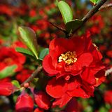 Closeup of single red blossom of Chaenomeles speciosa - Japanese quince. With blurred blossoming shrub in background royalty free stock images