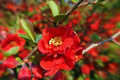 Closeup of single red blossom of Chaenomeles speciosa - Japanese quince. With blurred blossoming shrub in background royalty free stock photography