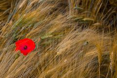 Single poppy in a rye field Stock Images
