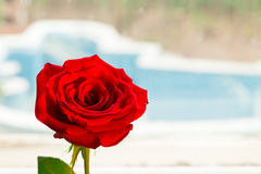Closeup of single red rose Stock Images