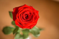 Closeup of single red rose Stock Photo