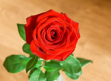 Closeup of single red rose Royalty Free Stock Photo