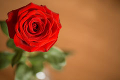 Closeup of single red rose Stock Photography