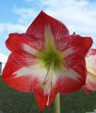 Closeup of a single Red and white Amaryllis flower. A single red and white brilliantly patterned Amaryllis blossom against a blue sky stock image