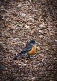 Closeup of a single robin on ground Stock Photos
