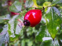 Rosa canina in the rain. Closeup of a single rosehip of dog rose lat: Rosa canina on rain-soaked shrub. The rosehip contains many small nutlets. The fruit pulp Stock Photography