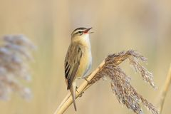 Sedge Warbler, Acrocephalus schoenobaenus, bird singing perched. Closeup of a single Sedge Warbler bird, Acrocephalus schoenobaenus, singing to attract a female Royalty Free Stock Images