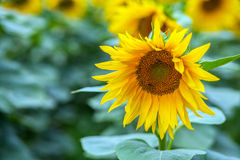 Closeup of a single sunflower. In a field on a background with others flowers Stock Photography