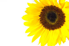 Closeup single sunflower Royalty Free Stock Photos