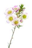 Sweet Waxflowers isolated on White Stock Image