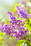Closeup of Siren Flower at Blossom Stock Photography
