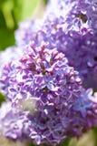 Closeup of Siren Flower at Blossom Stock Photos