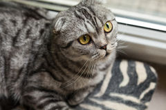 The closeup of sitting dun cat next to the window Stock Image