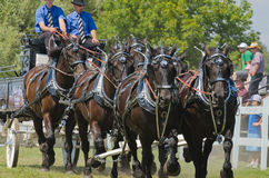 Closeup of a Six Horse Hitch Team of Heavy Draft H Royalty Free Stock Photos