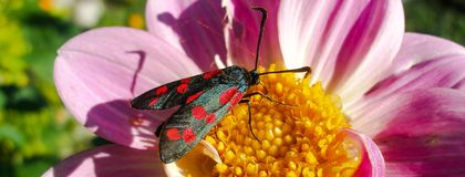 Six-spot Burnet on pink Lily. Closeup on Six-spot Burnet moth on rosy Lily flower. Photo in Facebook background format Royalty Free Stock Photo
