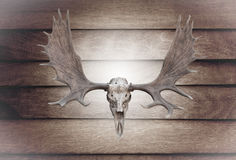 Closeup skull moose on wooden wall Royalty Free Stock Photography