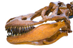 Closeup of the skull of Tyrannosaurus rex Stock Photos