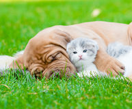 Closeup sleeping Bordeaux puppy dog hugs newborn kitten on green grass Stock Images