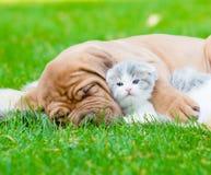 Closeup sleeping Bordeaux puppy dog hugs newborn kitten on green grass.  Stock Images
