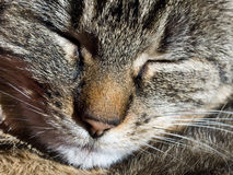 Closeup of a sleeping cat. Closeup of a face of a striped domestic cat with grey fur and whiskers royalty free stock images