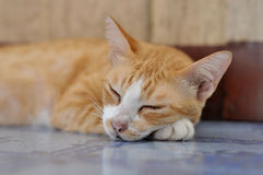 Closeup sleeping cat and perfect dream. The cat can sleep all day in good weather Royalty Free Stock Images