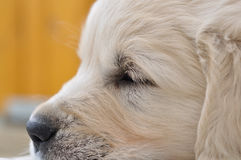 Closeup sleeping golden retriever puppy. With yellow background Royalty Free Stock Photo