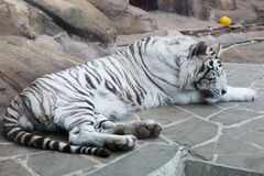 Closeup of sleeping white tiger Royalty Free Stock Photos
