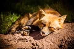 Closeup of Sleepy Red Fox on Ground royalty free stock photos