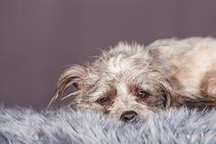 Closeup of Sleepy Dog on Grey Fur Stock Images