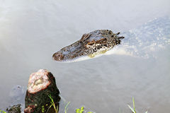 Closeup of a small alligator Royalty Free Stock Photo