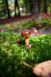 Closeup of a small brown mushroom surrounded by green moss Royalty Free Stock Images